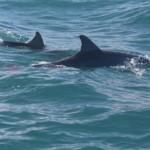 Bottlenose Dolphins at Granite Island.